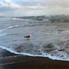 strandmeeuw